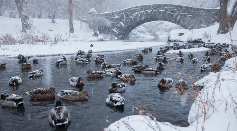 """Ducks in Central Park Blizzard of 2015"" di Anthony Quintano su Flickr"